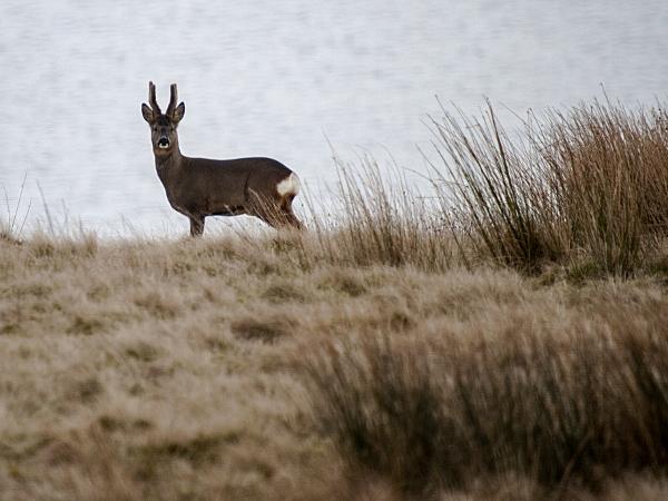 roe deer buck wardle rochdale