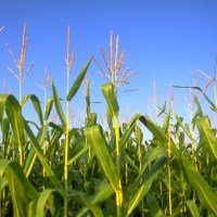 Transgenic-Crop Pest Control Doesn't Live Up To The Hype, Research Finds