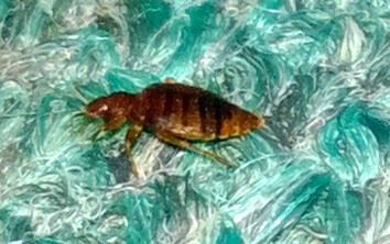 More About Bed Bugs And How They May Be Controlled