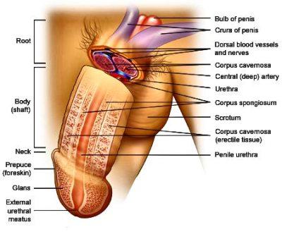Penis Anotomy 64