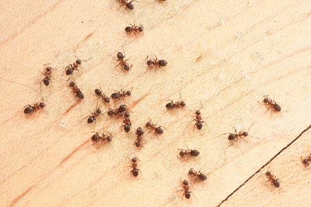 Getting Rid Of Ants In Your Home