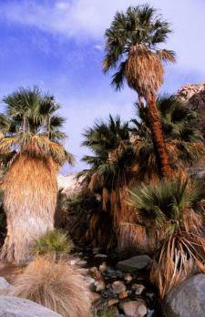 Native California Fan Palm oasis, native to California found in Borrego Palm Canyon in Anza Borrego State Park