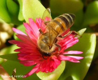 Honey bee pollinating ice plant flower