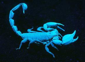 Scorpion under a black light