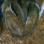 Boulder's left front hoof. Note the little cavities out along the toe where I picked rocks out and treated for thrush.