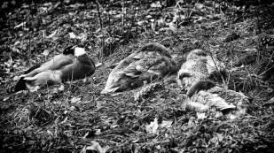Vier Enten.