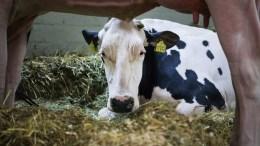 Οι Τούρκοι εκτροφείς βοοειδών έστειλαν πίσω στην Ολλανδία 40 αγελάδες! EPA/FOCKE STRANGMANN