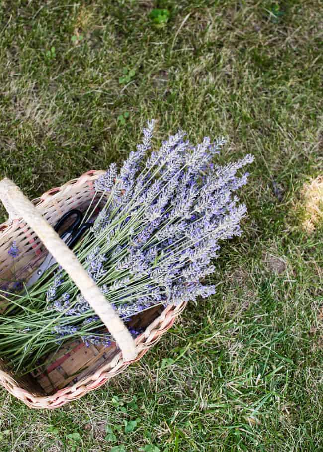 How to dry lavender | Hello Glow