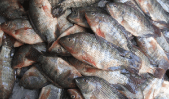 السمك البلطي