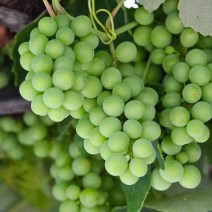 Grapes growing in Piran