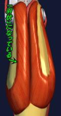 下腿三頭筋は羽状筋