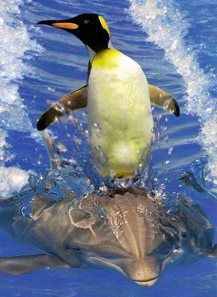 pinguim pegando carona nas costas de um golfinho
