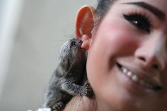macaco mordendo orelha de uma minina. Fica pendurado como um brinco.