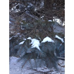 Serene Lawn Pruning Pine Trees Lands Current Pine Tree Roots Near Pine Tree Roots Inactiveparts This Blue Spruce Has Whorled Branches Shows Active Branch Roots