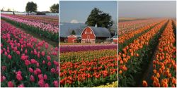 Small Of Holland Bulb Farms