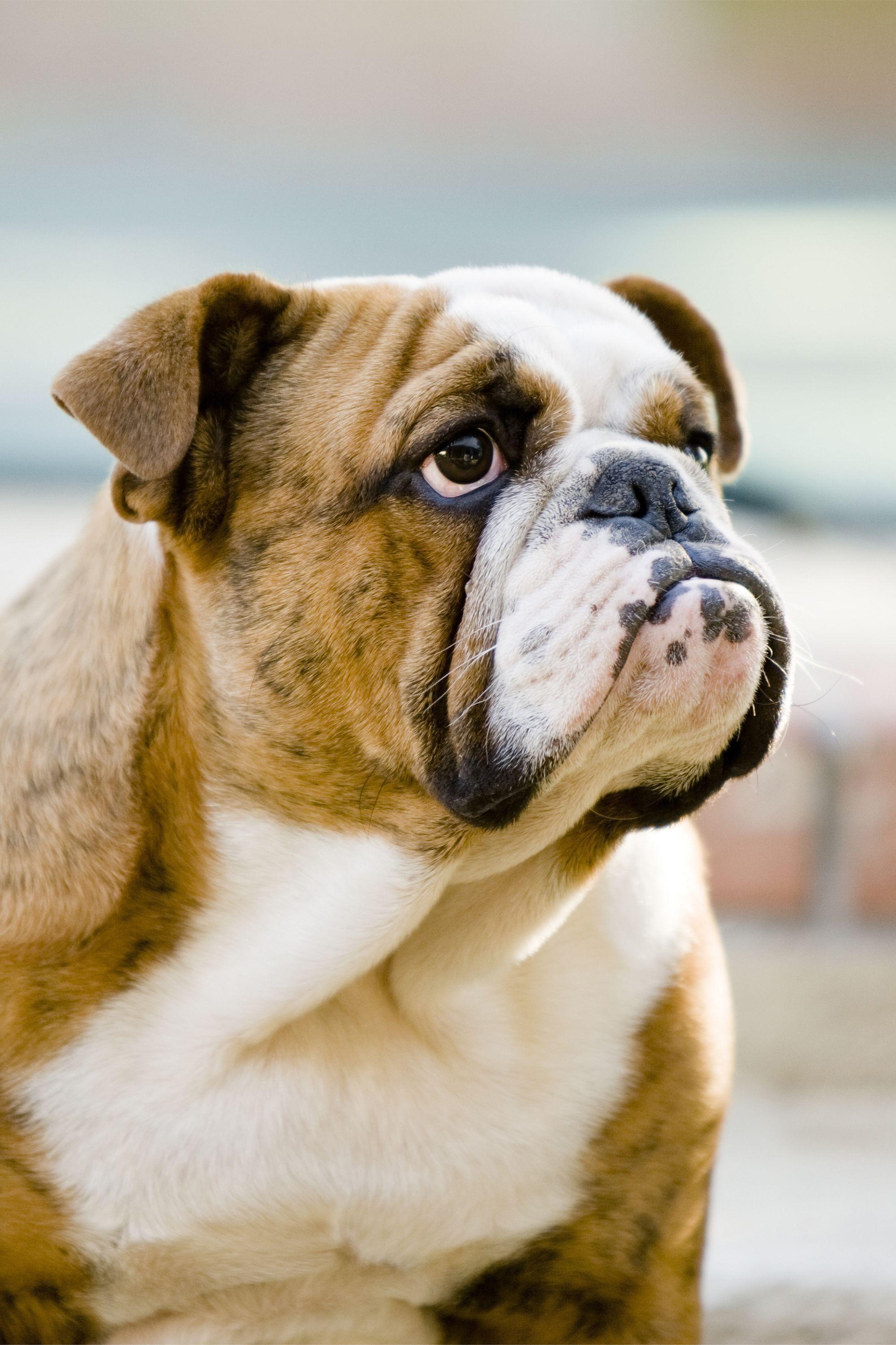 Fullsize Of Bulldog Shih Tzu Mix