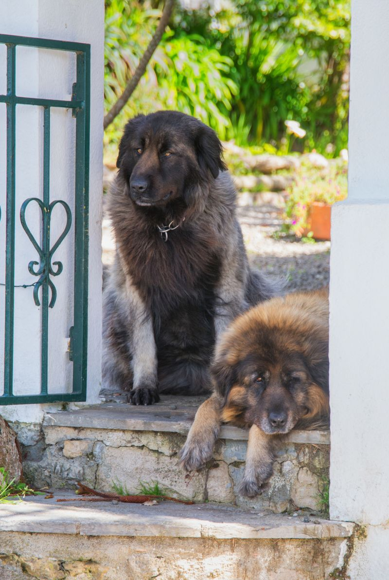 Large Of Most Protective Dogs