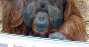 orangutan-header-750x400