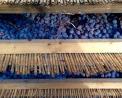 Valpolicella-grapes-drying-on-bamboo-460x295