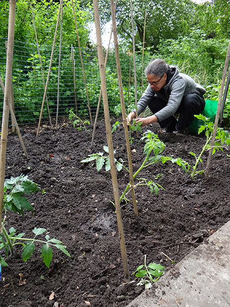 Adelle securing tomato plants on our allotment in May 2015