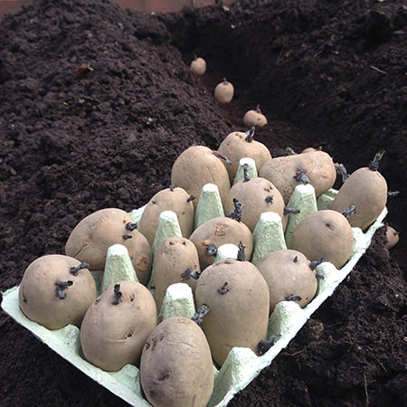 Chitted seed potatoes being planted in trenches on our allotment in April 2015