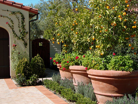 fruit trees in giant terracotta pots on a patio