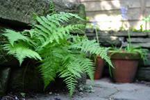 ferns growing in pots and between stone bricks in a wall
