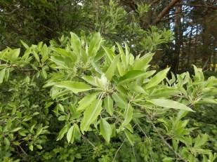 Poirier à feuilles d'amandier. Perotièr ( Oc ) . Autre variété.