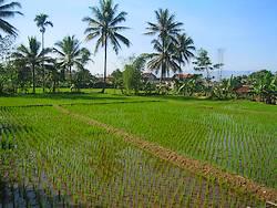 Rijstveld (sawa) in Indonesië