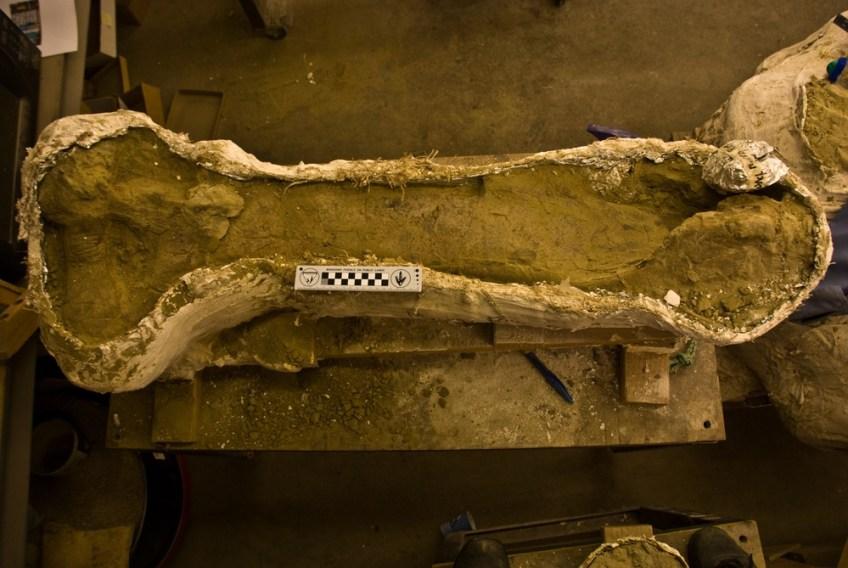 Scheenbeen van de sauriër (Naturalis)