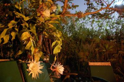 dsc_0012-nightblooming-cereus.jpg