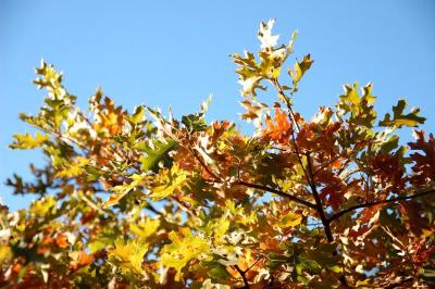 dsc_0065-dancing-fall-oak-leaves.jpg