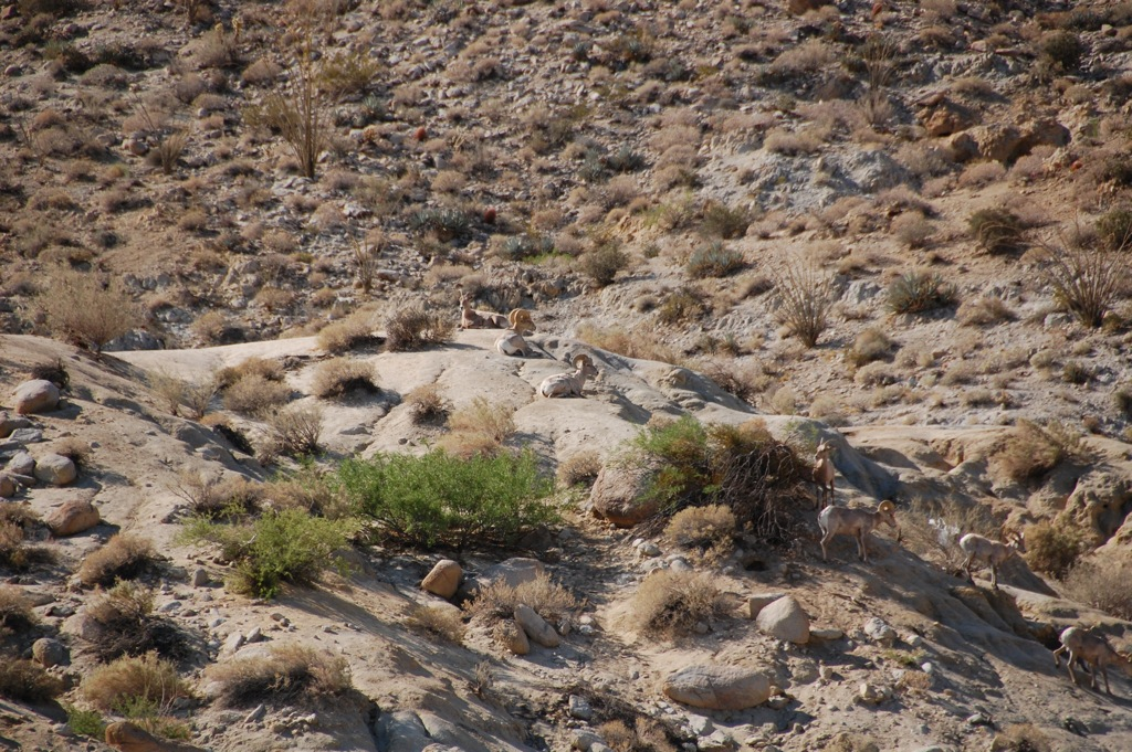 DSC_0163 Distant view desert bighorn sheep