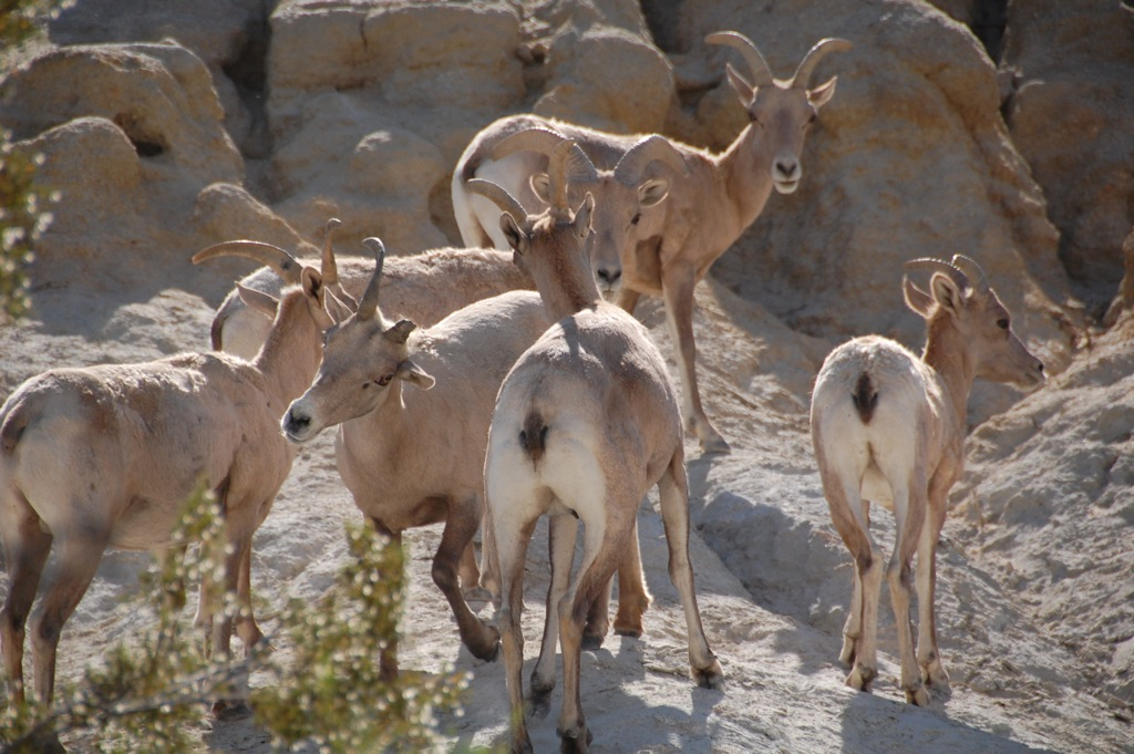 DSC_0237 Bighorn sheep group 2