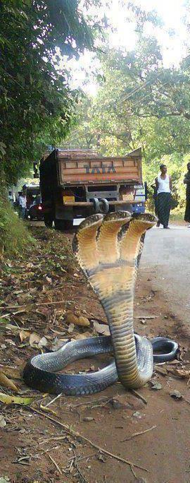 three-headed-snake