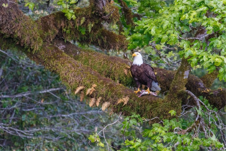 Rogue River Bald Eagle