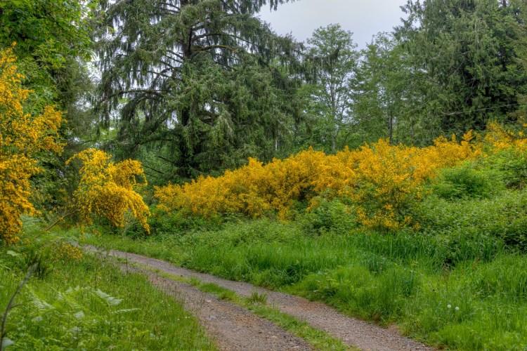 Flowering Broom
