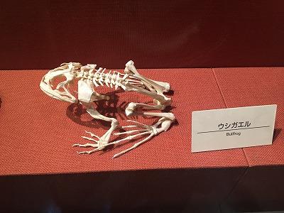 ウシガエル骨格