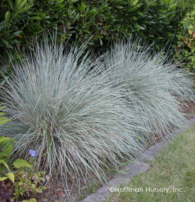 Large Of Blue Oat Grass