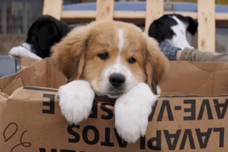 A Dog's Purpose, Bailey as Saint Bernard