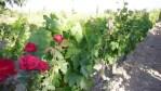 ¿Por qué hay rosales en los viñedos?