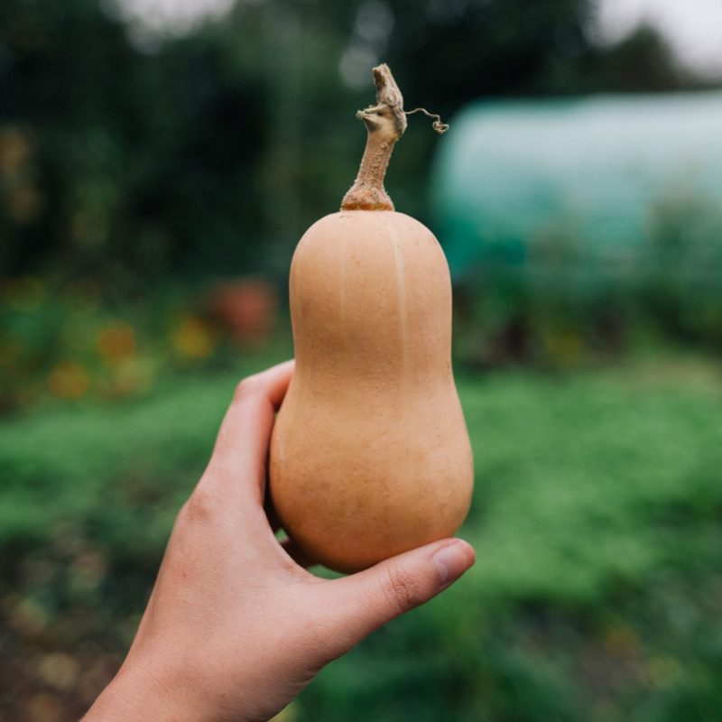 Large Of When To Harvest Butternut Squash