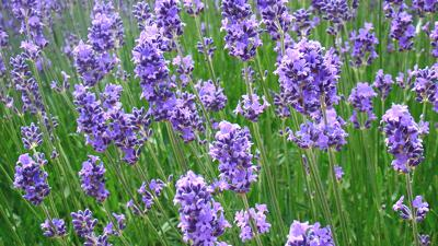 Lavender – Its Origins And Uses