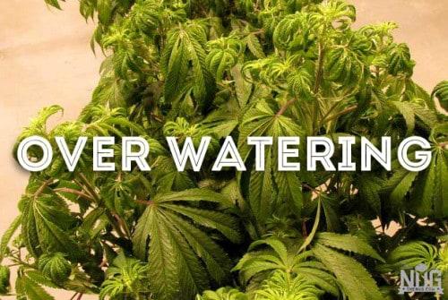 marijuana over watering