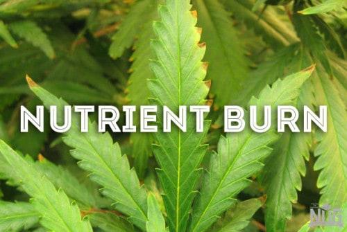 marijuana nutrient burn