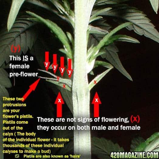 cannabis pre-flower