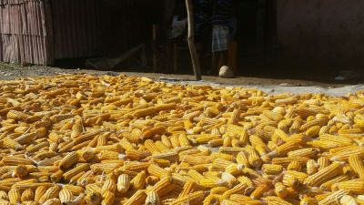 Drying corn in the streets