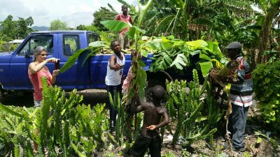picking up banana trees to plant