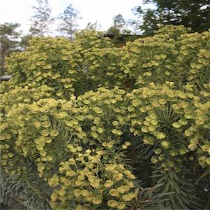 Euphorbia characias wulfenii
