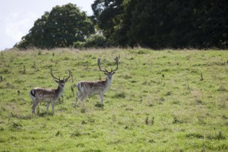 Wild deer on the Estate